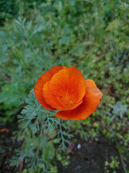 Poppy, Flower, Meadow, Bloom, Blossom, Flowering Plant