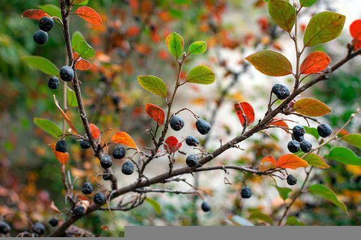 Chokeberry, Berry, Branch, Leaves
