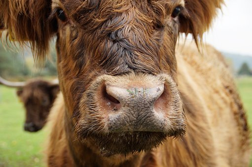 Cow, Highland Cattle, Snout, Face, Cattle, Animal