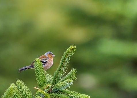 Chaffinch, Bird, Forest, Common Chaffinch