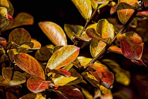 Leaves, Autumn, Crepe Myrtle, Lagestroemia Indicates