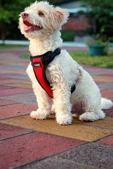 Dog, Puppy, Pet, Toy Poodle, Animal, Pup
