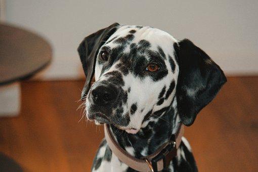Dog, Pet, Animal, Dalmatian, Domestic Dog, Canine