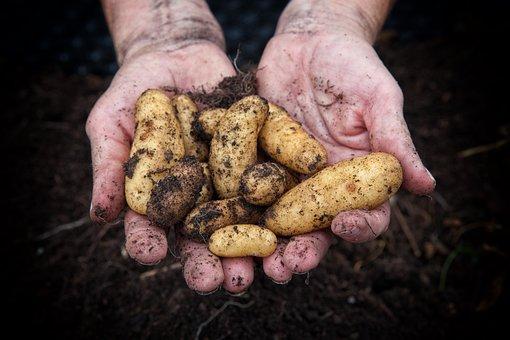 Potatoes, Harvest, Hands, Earth, Soil