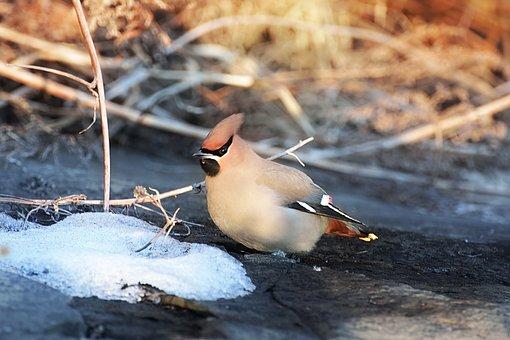 Bird, Waxwing, Winter, Beak, Feathers, Plumage, Wings