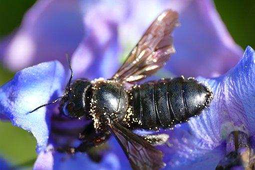 Bee, Insect, Flower, Animal, European Dark Bee