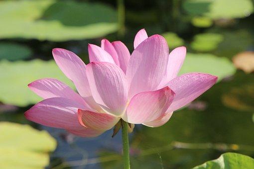 Lotus, Flower, Petals, Water Lily, Pink Flower, Bloom