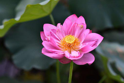 Lotus, Flower, Petals, Pink Flower, Water Lily