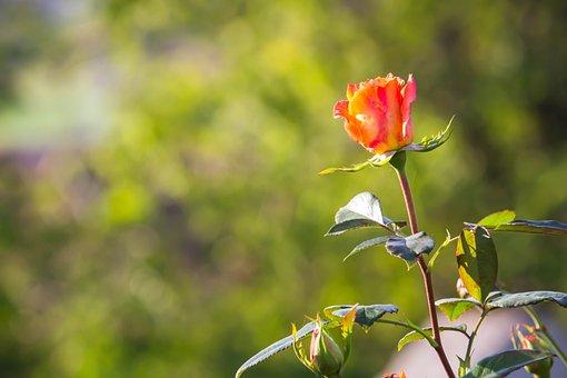 Rose, Flower, Blossom, Bloom, Rose Petals, Single