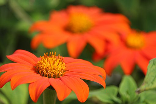 Orange Flowers, Flowers, Petals, Blossom