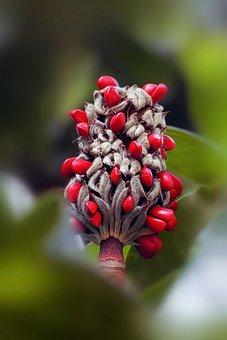 Magnolia, Fruit, Seeds, Red Seeds, Tree, Plant