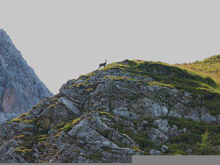 Chamois, Goat, Mountain, Wild, Animal, Alpine, Gams