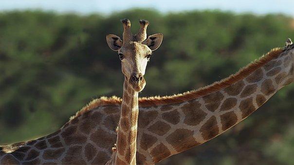Giraffes, Heads, Ossicones, Long Neck, Giraffe Head