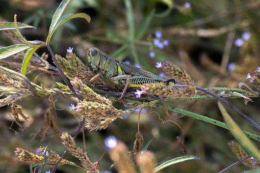 Grasshopper, Insect, Bug, Grass, Plants, Flowers
