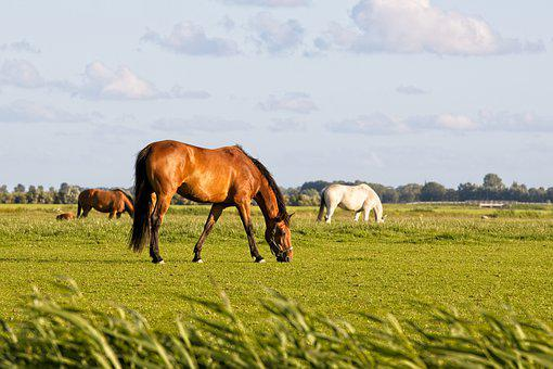 Horses, Pastures, Grazing, Paddock