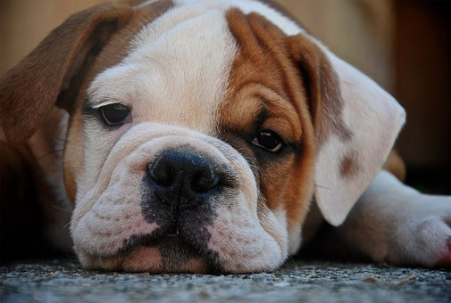 Dog, Bulldog, Puppy, Sad, Cute, Pet