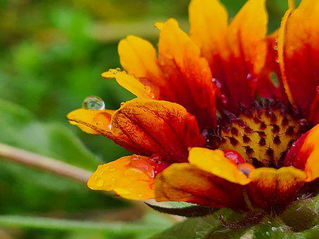 Flower, Dewdrops, Bloom, Blossom, Petals