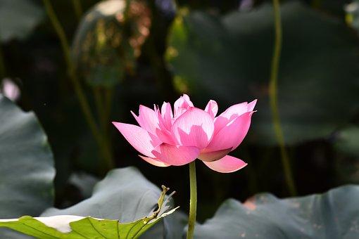 Lotus, Flower, Petals, Pink Flower