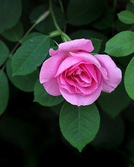 Rose, Flower, Plant, Pink Rose