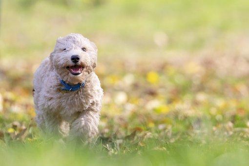 Dog, Puppy, Pet, Bichon Frise, Animal, Pup, Young Dog
