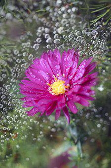 Flower, Morning Dew, Bloom, Purple Flower