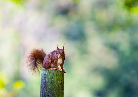 Squirrel, Rodent, Animal, Red Squirrel