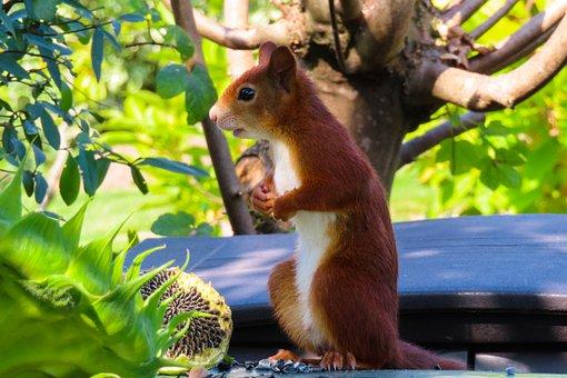 Squirrel, Rodent, Sunflower Seeds