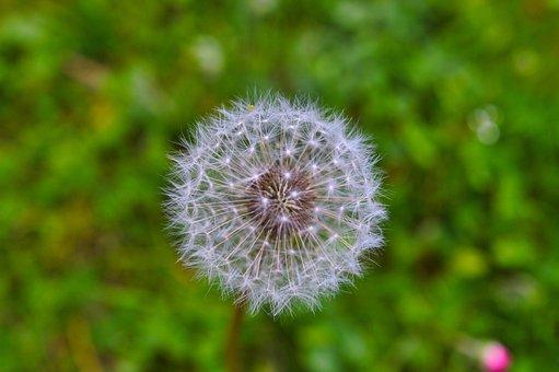 Dandelion, Flower, Plant, Seed Head, Blowball