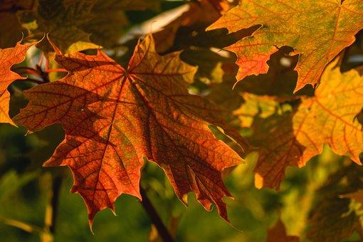 Maple Leaves, Leaves, Foliage, Sheet, Leaf Viens