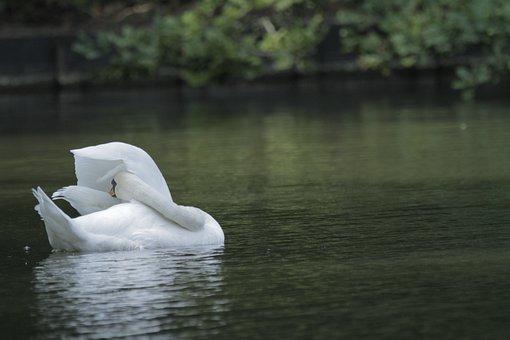 Swan, Pond, Bird, White Swan, Waterfowl, Plumage