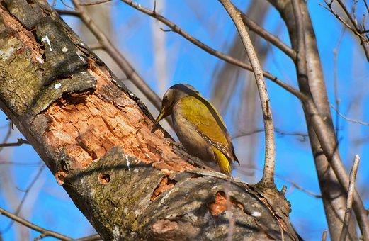 Bird, Woodpecker, Tree, Peck, Beak, Wings, Plumage