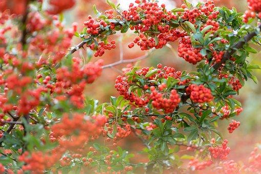 Rowan, Fruit, Tree, Branches, Berry