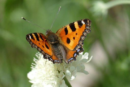 Butterfly, Flower, Wings