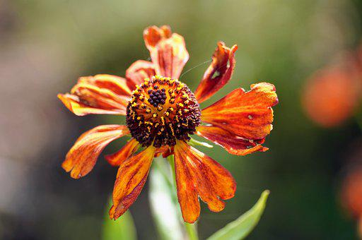 Coneflower, Flower, Withering, Withering Flower