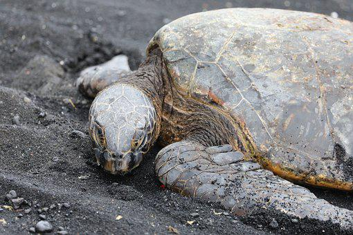 Turtle, Animal, Sand, Seashore, Reptile