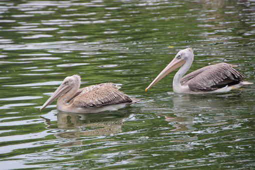 Pelicans, Birds, Pond, Water Birds, Aquatic Birds