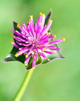 Gomphrena Fireworks, Flower, Gomphrena Globosa, Bloom