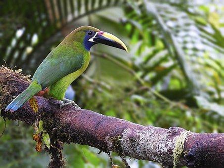 Emerald Toucanet, Bird, Animal
