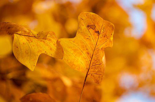 Leaves, Tree, Autumn, Fall, Yellow Leaves, Plant, Flora