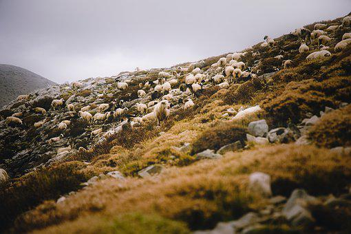 Sheep, Mountain, Nature, Landscape, Flock, Grazing