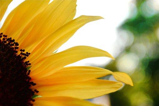 Sunflower, Flower, Petals, Yellow Flower, Bloom