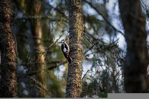Great Spotted Woodpecker, Bird, Forest