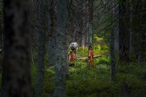 Owl, Bird, Forest, Ural Owl, Strix Uralensis