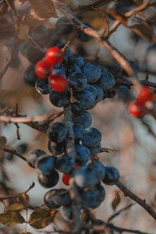 Berries, Fruits, Bush, Plants, Organic, Fresh, Harvest