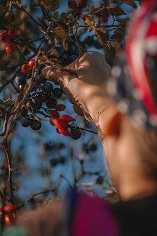 Berries, Fruits, Picking, Berry Picking, Fruit Picking