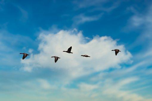 Migration, Birds, Flying, Flight, Geese