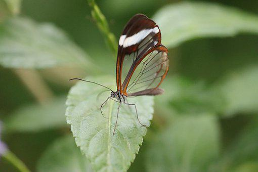 Butterfly, Insect, Nature, Glasswing Butterfly, Animal