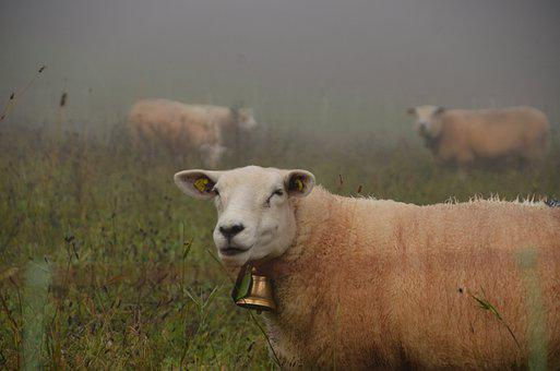Sheep, Bell, Grass, Wool, Fields, Farm, Fog, Livestock