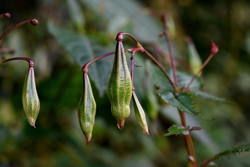 Himalayan Balsam Seed Pods, Close Up, Plants, Green