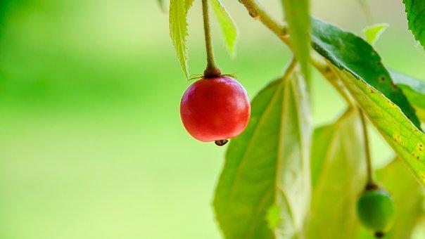 Berries, Fruit, Tree, Muntingiaceae, Vitamins
